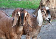 Earn money from goat farming.