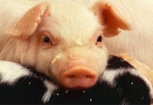 Earn Money from Pig Farming.
