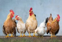 Earn Money with Country Chicken.