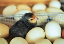 How to Make Money from an Egg Hatchery Business.